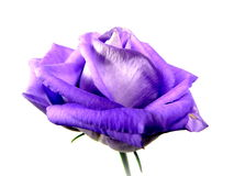 Lisianthus Stock Photos