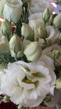 Lisianthus Royalty Free Stock Photos