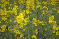 Lisimaquia amarilla Fotos de archivo