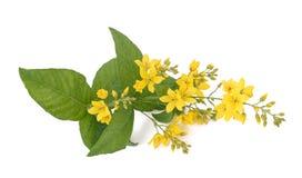 Lisimaquia amarilla del jardín Imagen de archivo libre de regalías