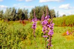 Lisimaquia púrpura floreciente del cierre Foto de archivo