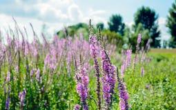 Lisimaquia púrpura floreciente y de florecimiento del cierre Fotos de archivo libres de regalías