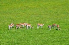 Lismar och kvinnliga deers Royaltyfri Foto