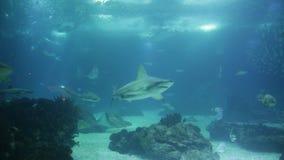 Lissabon akvariumhajar arkivfilmer