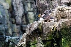 Lissabon Oceanarium - atlantisk lunnefågel Arkivbild