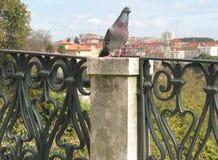 Lissabon-Taube Stockbild