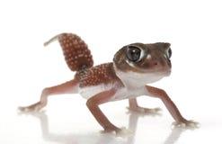lisse de molette de gecko suivi photographie stock libre de droits