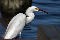 Lisse et Slick Egret images stock