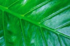 Lisse propre de base de grand de banane fond frais vert-foncé de feuille avec des lignes modèle de diogonal de veines photo libre de droits