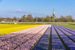 Lisse spring landscape. Beautiful and colorful vegetal patterns blooming at springtime covering every fields in Lisse nested to the Keukenhof tulips garden royalty free stock image