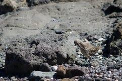 Lisser de phaeopus de Numenius de courlis corlieu photo libre de droits