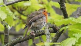 Lisser rouge de sein d'oiseau britannique de merle de b?b? ?t? perch? sur la branche d'arbre banque de vidéos