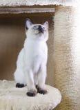 Lissez le chaton d'une chevelure du type siamois queue écourtée du Mékong image libre de droits