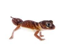 Lissez le gecko Bouton-coupé la queue sur le blanc images stock