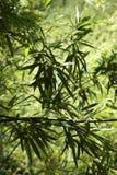 list do bambusów Obrazy Stock