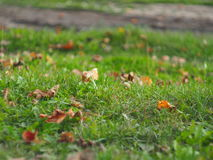 List`ya na trave leaves on the grass. Wilted leaves lie on the green summer grass Royalty Free Stock Photos
