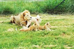 Listen to me roar. Babysitting duties sorted Stock Photography