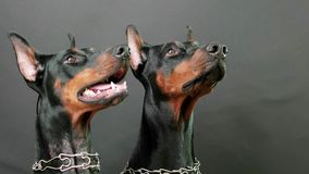 Listening attentively to masters commands, closeup side view of two black and brown dobermans stock footage