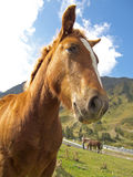 The listening horse at Pyrenees Royalty Free Stock Photo