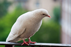 Listening pigeon. White pigeon on the balcony Royalty Free Stock Photos