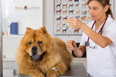 By listening to a dog Chow Chow Stock Photos