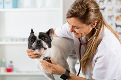 By listening to a dog Veterinary bulldog French Royalty Free Stock Photos