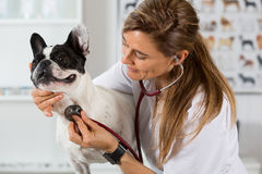 By listening to a dog Veterinary bulldog French Stock Images
