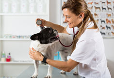 By listening to a dog Veterinary bulldog French Royalty Free Stock Photography