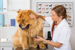 By listening to a dog Veterinary Chow Chow Royalty Free Stock Image
