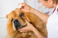 By listening to a dog Veterinary Chow Chow Stock Image