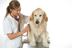 By listening to a dog Veterinary Golden Royalty Free Stock Image