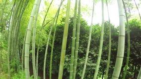 Listokolosnik pubescent bamboo stock video footage