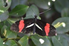 Listonosza Heliconius melpomene Motyli amarylek na liściach obraz stock