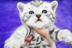 Listrado bonito do gatinho de Whiskas Focinho do bebê Imagens de Stock Royalty Free