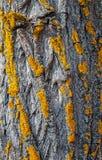 Listras amarelas diagonais do musgo no tronco, na textura ou no fundo de carvalho imagem de stock