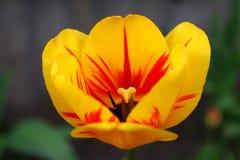 listras amarelas do vermelho da tulipa imagens de stock