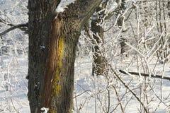 Listras coloridas em uma árvore em uma floresta do inverno fotos de stock