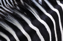 Listras da zebra Imagens de Stock