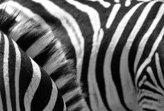 Listras da zebra fotos de stock