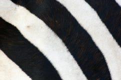 Listras da zebra Fotos de Stock Royalty Free