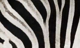 Listras da zebra Imagem de Stock Royalty Free