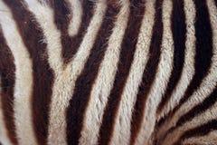 Listras da zebra do bebê Fotos de Stock Royalty Free