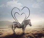 Listras da zebra e do coração fotografia de stock royalty free