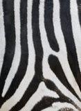 Listras em uma pele da zebra imagens de stock