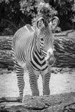 Listras grandes das orelhas da pele preto e branco da zebra em preto e branco Fotos de Stock