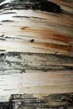Listras na casca de árvore Foto de Stock Royalty Free