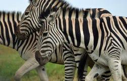 Listras preto e branco da zebra Fotos de Stock
