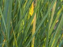 Listras verdes e amarelas fotografia de stock