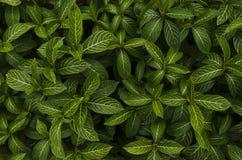 Listras verdes e brancas da folha Foto de Stock Royalty Free