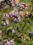 listu modraszka motyl Zdjęcie Royalty Free